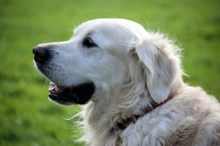 Белая довольная собака